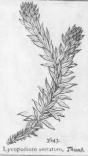 Lycopodium serratum zeichnung
