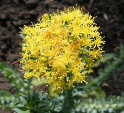 rhodiola rosea blüte