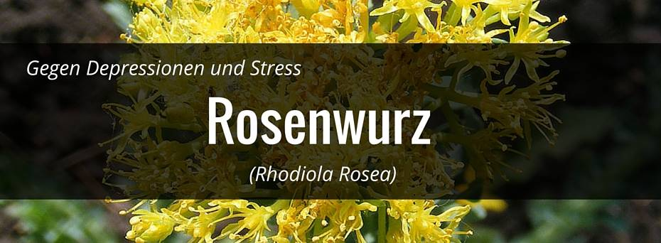 rhodiola rosea roswenwurz header