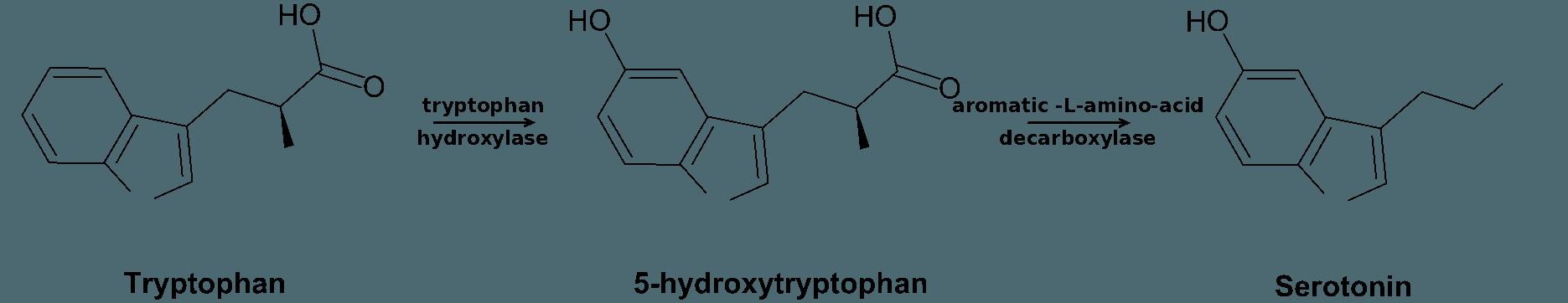umwandlungsprozess tryptophan 5-htp serotonin