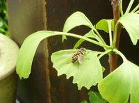 ginko biloba pflanze mit biene